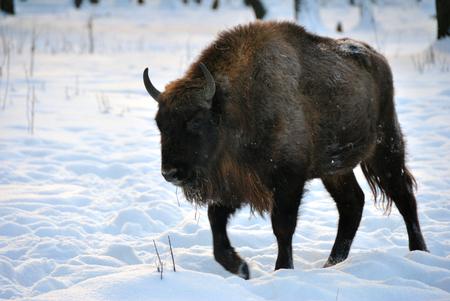 rare animals: Bison goes