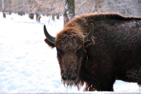 herbivores: Portrait of bison