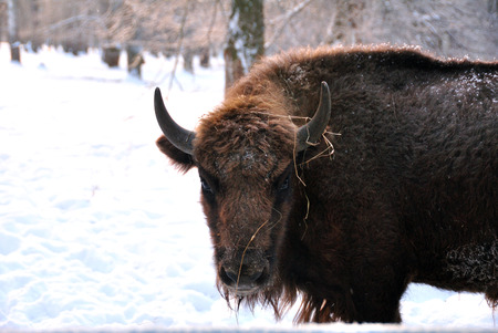 rare animals: Portrait of bison