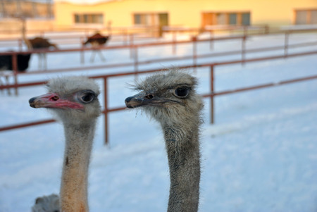 Ostrich: Two ostrich Stock Photo