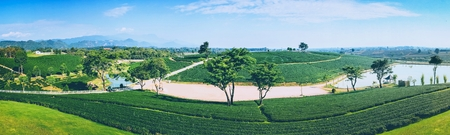 Panoramic view of a mountain tea plantation with blue sky on background in Thailand