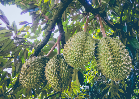 Durian tree, Durians are the king of fruits