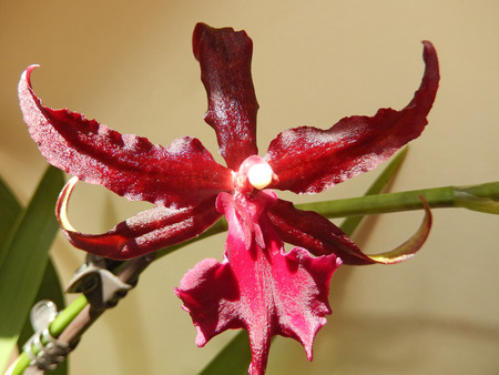 Deep red orchid blooming on a stem, with pointed petals