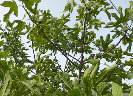 Fig tree branches against the sky with foliage and hanging fruits for Mediterranean backgrounds