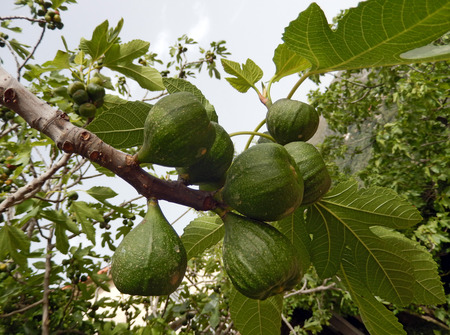 fig tree: Green figs hanging on a tree branch Stock Photo