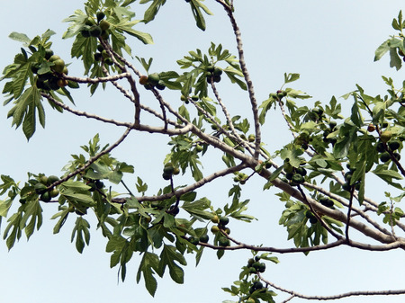 fig tree: Fig tree branches against the sky with foliage and hanging fruits for Mediterranean backgrounds