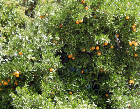 Orange tree with fruits in dense green foliage in an orchard in Greece