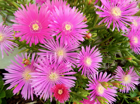 Pink margaret flower bed, with yellow center for seasonal landscape backgrounds Stock Photo
