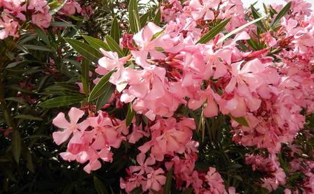пышной листвой: Тропический пышной листвой и розовыми цветами олеандра