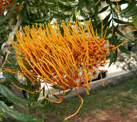 Orange spiky flower blooming on an exotic Mediterranean tree in Greece Stock Photo