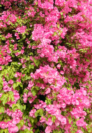 Bougainvillea bush background with blooming hot pink flowers photo