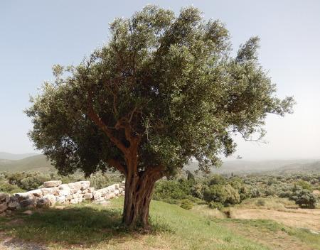 カラマタ, ギリシャの古代の石の壁に囲まれた特異なオリーブの木