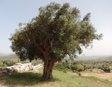 kalamata: Singular olive tree surrounded by ancient stone walls in Kalamata, Greece Stock Photo
