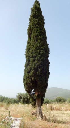 columnar: Columnar Cypress tree on an ancient archaeological site in Greece