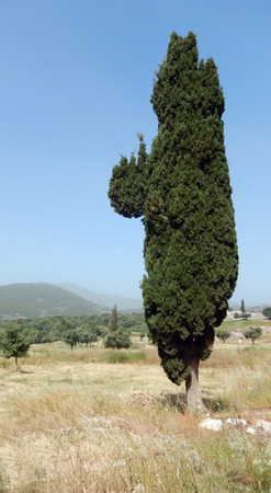 Columnar Cypress tree on an ancient archaeological site in Greece