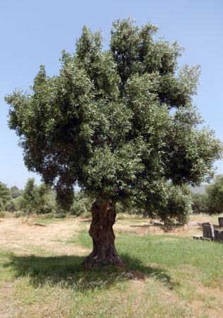 singular: Singular olive tree in Kalamata, Greece.