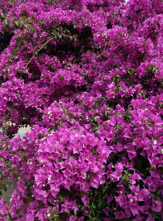 bougainvillea: Bougainvillea bush with blooming hot pink flowers Stock Photo