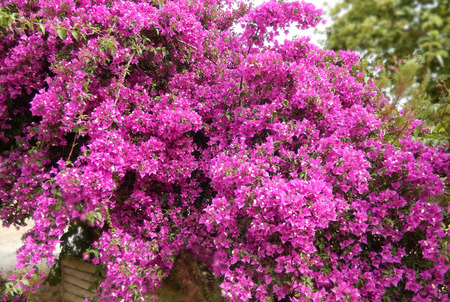 Bougainvillea bush with blooming hot pink flowers photo