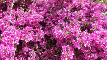 Bougainvillea bush background with blooming hot pink flowers stock bougainvillea bush background with blooming hot pink flowers stock photo 35638151 mightylinksfo