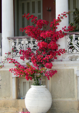 Mediterranean floral arrangement with red azalea in a white flower pot Stock Photo
