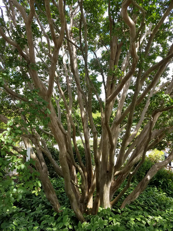 tree detail: Landscape detail with Crepe Myrtle tree trunks in a botanical garden