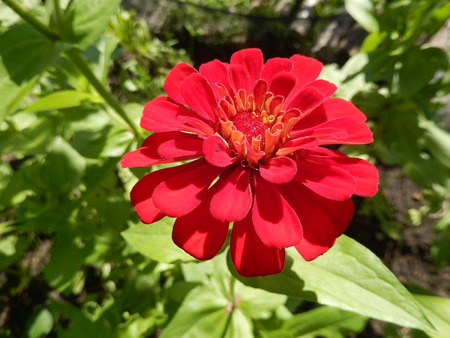 Closeup on a deep red perennial daisy flower blooming in the garden Stock Photo