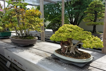 Bonsai and Penjing landscape with miniature deciduous trees in trays