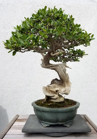 ficus: Bonsai and Penjing landscape with miniature ficus tree in a tray