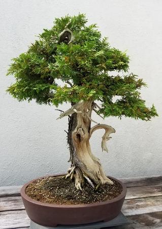 enebro: paisaje Bonsai y Penjing con el árbol de pino en miniatura en una bandeja