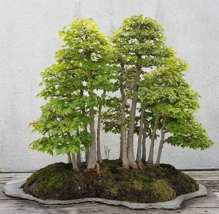 miniature: Bonsai and Penjing landscape with miniature deciduous trees in a tray