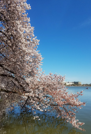 The Cherry Blossom Festival in Washington DC, USA with blooming cherry tree branches arching toward the Tidal Basin waters.