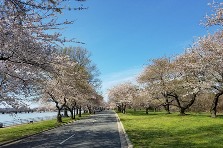 The Cherry Blossom Festival in Washington DC, USA with blooming cherry trees alongside the Potomac river park.