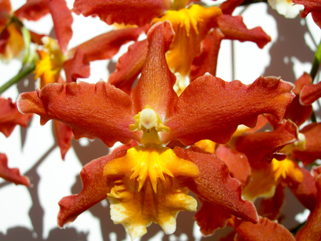 Closeup on a red orchid with an orange center petal