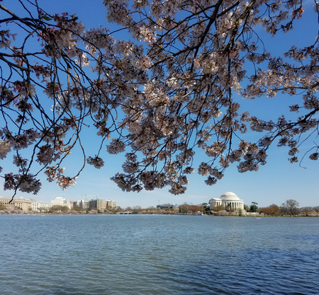 The Thomas Jefferson Memorial seen across the Tidal Basin during the Cherry Blossom festival in Washington DC, USA
