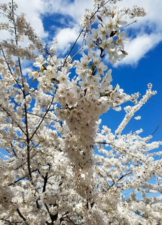 Spring background with blooming cherry tree flower clusters against a clear blue sky.
