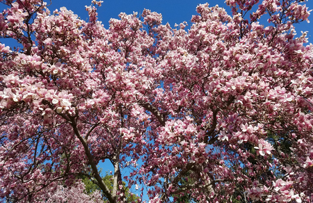 Magnolia tree branches with blooming pink flowers in springtime against a blue sky. Standard-Bild