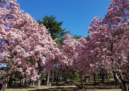 Magnolia trees with blooming pink flowers in springtime.
