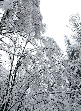 Frozen forest with tree branches and twigs covered in snow and ice for winter holiday backgrounds.