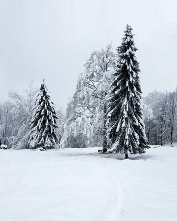 Solitary pine trees next to a frozen forest background for holiday backgrounds