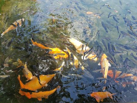 Bank of exotic Koi fish swimming in an ornamental pond
