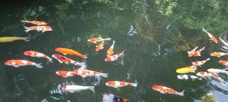 Bank of exotic Koi fish swimming in an ornamental pond in Bali, Indonesia.