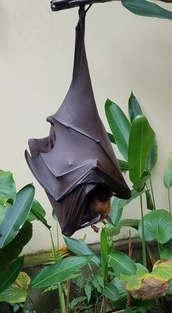 Large fruit bat or flying fox hanging upside-down in a tree in Bali, Indonesia Stock Photo
