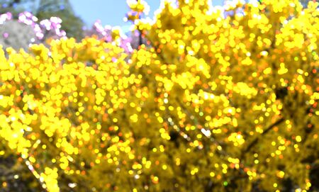 Bokeh blur with yellow bushes of Forsythia flowers in full bloom for spring backgrounds.