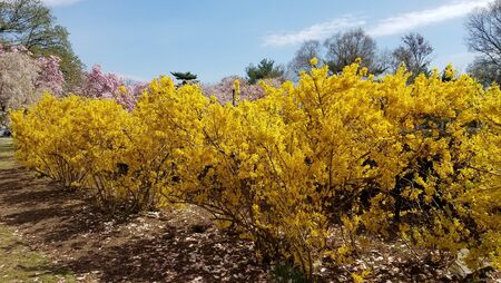 Yellow bushes of Forsythia flowers in full bloom for early spring landscape backgrounds. 写真素材