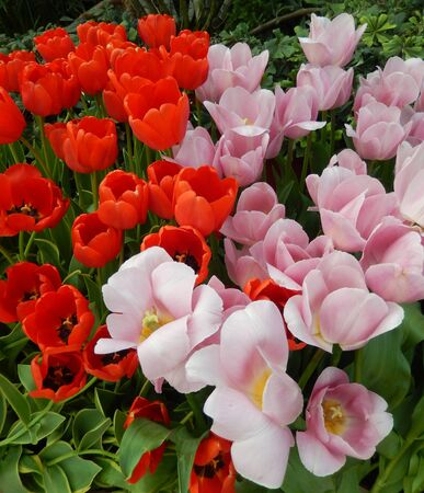 Red and pink tulips flowerbed for floral springtime landscape backgrounds                                写真素材