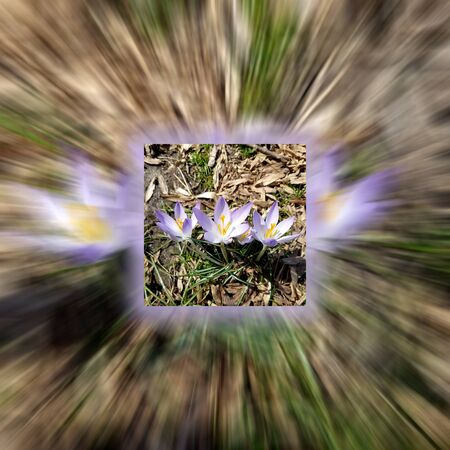 Close-up zoom on purple Corcus flowers blooming in the woods for early spring backgrounds.