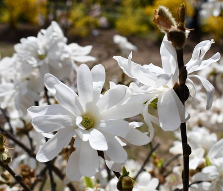 White magnolia branches loaded with blooming flowers for springtime backgrounds.