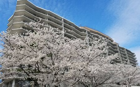 Blooming cherry trees in front of a high rise, multistory building for springtime landscape backgrounds