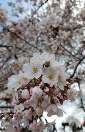 Close-up on a cherry tree trunk with a flower blooming, for early spring backgrounds