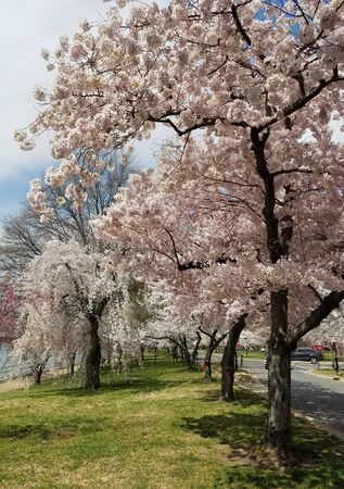 Cherry trees in full bloom during the springtime Cherry Blossom Festival in Washington DC, USA. 写真素材